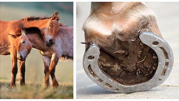 ¡Increíble! Mira cómo serán las herraduras de los caballos en un futuro (VIDEO)