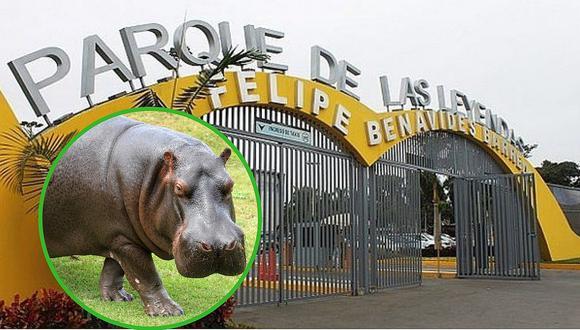 Celebran primer decenio de vida de hipopótamo en el Parque de las Leyendas