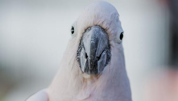 Las cacatúas son animales sumamente inteligentes. Por ello, muchas personas las ven como las mascotas ideales. (Foto referencial - Pexels)