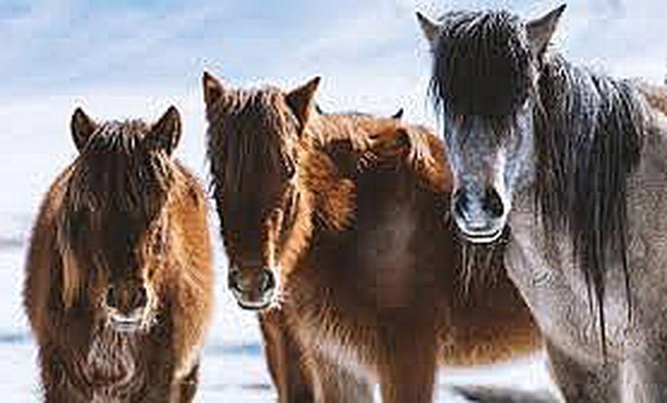 Destacan importancia de los caballos en la evolución humana (VIDEO)