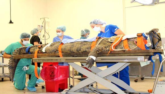 El parque zoológico San Augustín informó que Anuket, el cocodrilos de más de 3 metros de largo, sigue descansando en un área apartada de la zona de visitantes del zoológico. (Foto: Difusión)