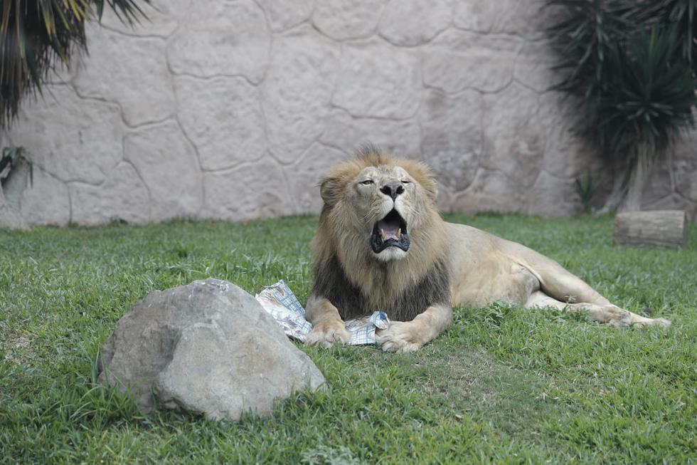 Sobre las exhibiciones de los animales, habrá dos modalidades: estacionada (se les verá por unos minutos) y continua (se realizará sin poder pararse delante de ellos). (Fotos: Renzo Salazar / GEC)