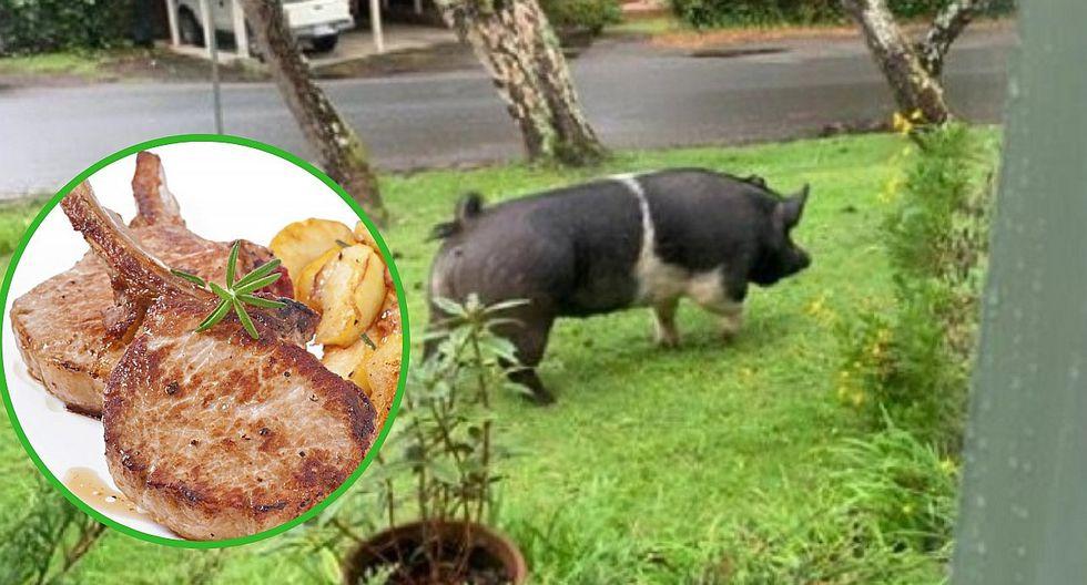 Sujeto se come a una cerda mascota que había sido reportada como perdida