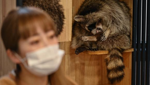 Más allá de los tradicionales perros y gatos, muchos negocios de Shanghái proponen ahora cualquier tipo de animales para acariciar, de mamíferos a reptiles. (Foto: AFP)