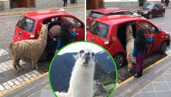 """Captan a llama """"tomando"""" un taxi en la ciudad en Cusco (VIDEO)"""
