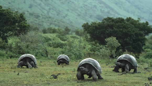 Tras 51 años, cinco tortugas gigantes vuelven a su hábitat en Galápagos