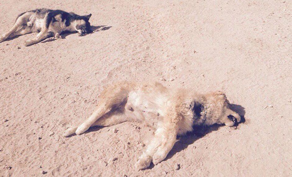 Sacrifican a perros callejeros por el Rally Dakar en Bolivia