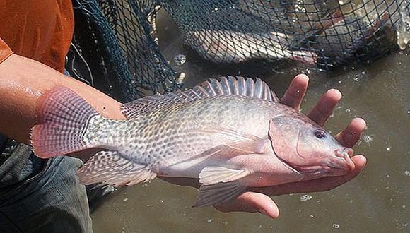 Confirman virus de la Tilapia Lacustre en la región San Martín