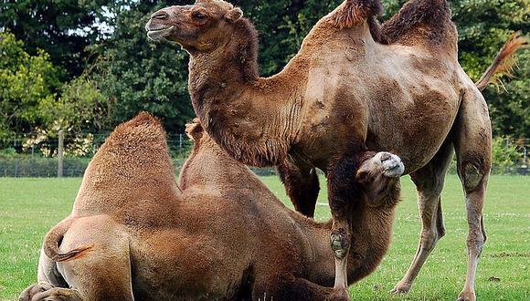 Sospechan que inocentes camellos contagian mortal enfermedad respiratoria