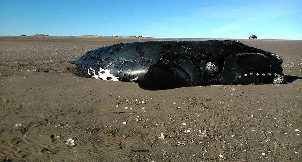 Argentina: Ballena varada aún respira pero no podrá volver al mar