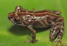 Sernanp: Científicos encuentran una nueva especie de rana en la Reserva Comunal El Sira