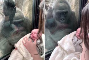 Una mamá gorila se emociona al ver a un bebé recién nacido