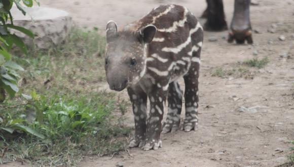 Presentan a bebé tapir en el Parque de las Leyendas