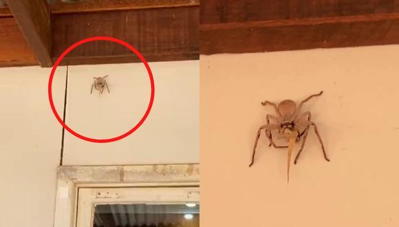 Un video viral muestra cómo una araña cangrejo gigante se comía una lagartija entera encaramada en lo alto de un muro. | Crédito: @wattsea98 / TikTok.