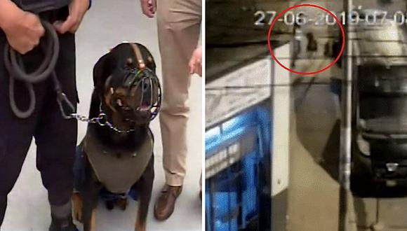 Valeroso perro captura a delincuente que robó cartera a mujer en Surquillo   VIDEO