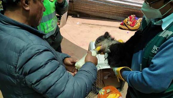 Puno: Fiscalía rescata a oso de anteojos que se encontraba en cautiverio en una vivienda (Foto: Ministerio Público).