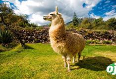 COVID-19: estudios revelan que anticuerpos encontrados en la alpaca combaten variantes británica, brasileña y sudafricana