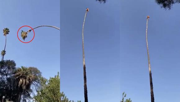Un video viral tiene como protagonista a un temerario jardinero que realiza una faena a varios metros de altura. | Crédito: @RexChapman / Twitter.