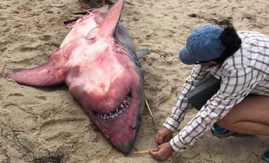 Un tiburón blanco con manchas rojas y pesas en su interior es encontrado muerto en la playa