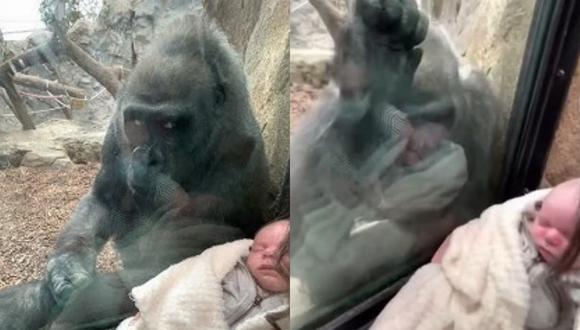 Un video viral muestra el tierno momento que compartieron una madre primeriza y una gorila al presentarse mutuamente a sus bebés. | Crédito: Michael Austin / YouTube