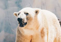 "Oso polar es condenado a muerte tras ser catalogado como ""problemático"" por autoridades de Groenlandia"