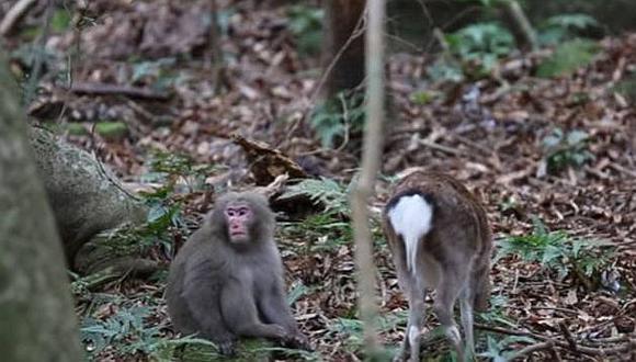 Japón: mono y cierva se enamoran y asombran a la ciencia [VIDEO]