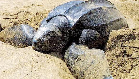 Comienza llegada de tortugas marinas a las playas de Puerto Rico