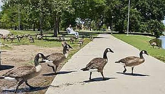 Cazan a gansos en parques para alimentar con ellos a la gente pobre
