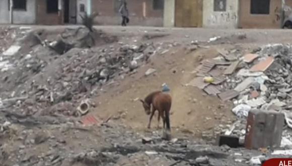 Caballo vive en basural en el Callao y vecinos afirman que el animal sí tiene dueño | VÍDEO
