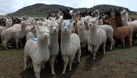 Puno: mejoraron productos de alpaca con embriones de calidad genética (Foto Minagri-Inia).