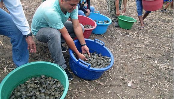 Amazonía: Liberan 37 mil tortuguitas taricaya para repoblamiento