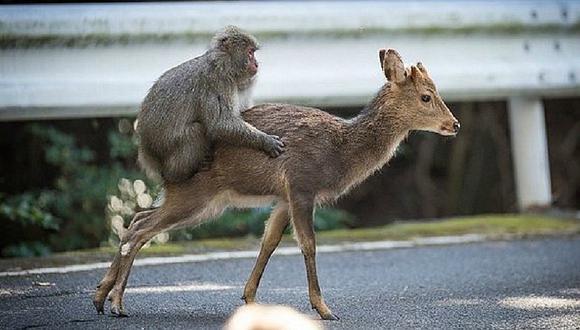 ¡Increíble! Un mono y una cierva son sorprendidos en esta insólita actitud