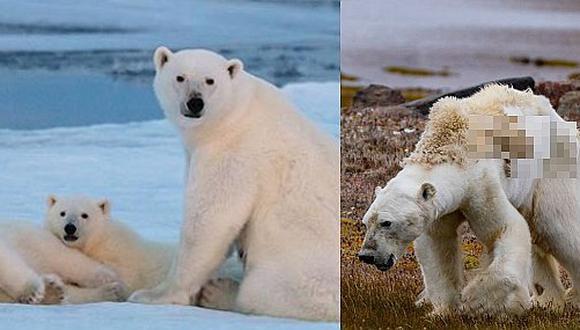 La dramática imagen de un oso polar muriendo de hambre en un Ártico sin nieve (VIDEO)