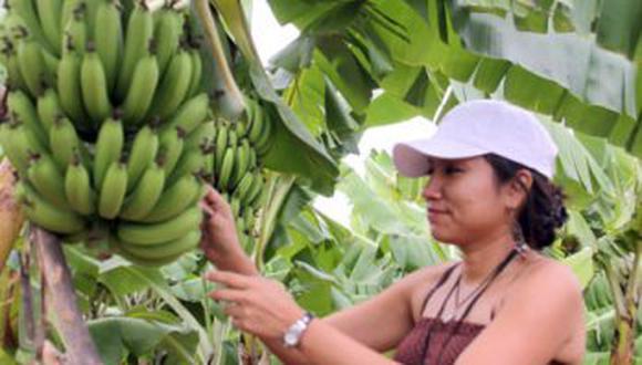 El Minagri a través del INIA incorpora 20 variedades de banano orgánico de alta calidad genética con resistencia al nocivo hongo Fusarium 4 tropical. (foto referencial)