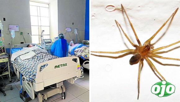 Junín: la araña loxosceles, que anida en las viviendas, tiene un veneno poderoso que puede matar a una persona en horas. (Foto referencial)