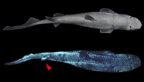 Según la hipótesis de los investigadores, los tiburones habrían desarrollado esta luminosidad para buscar presas en el fondo del océano. (Foto: Difusión)