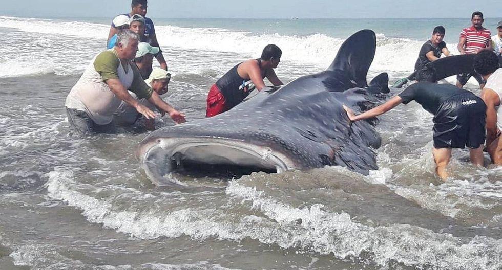 Pescadores y turistas unen fuerzas para salvar a tiburón ballena (VIDEO)