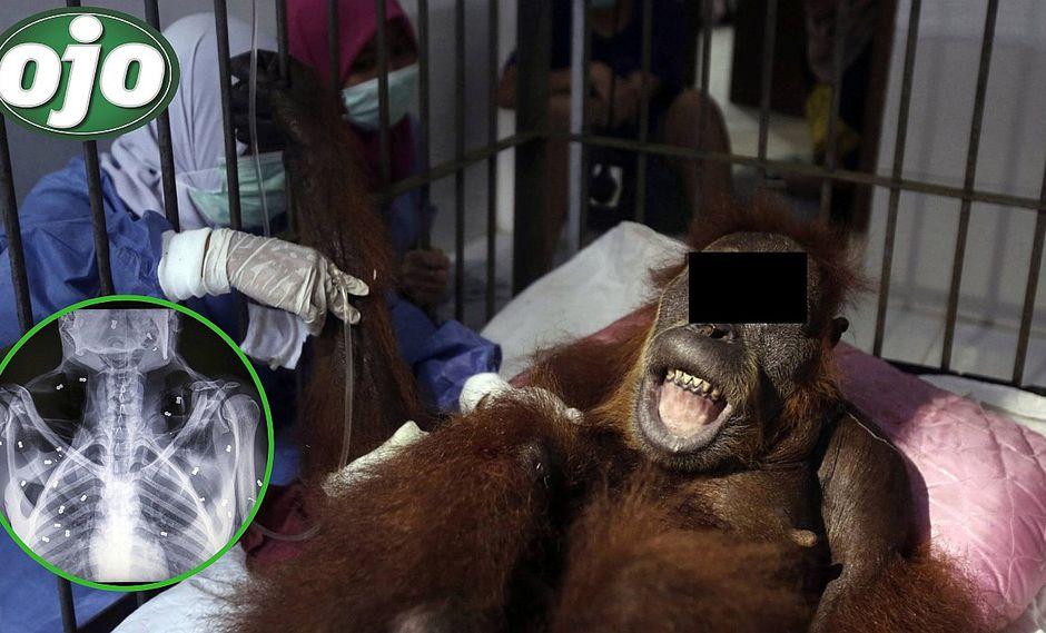 Disparan 74 veces a un orangután hasta dejarla ciega