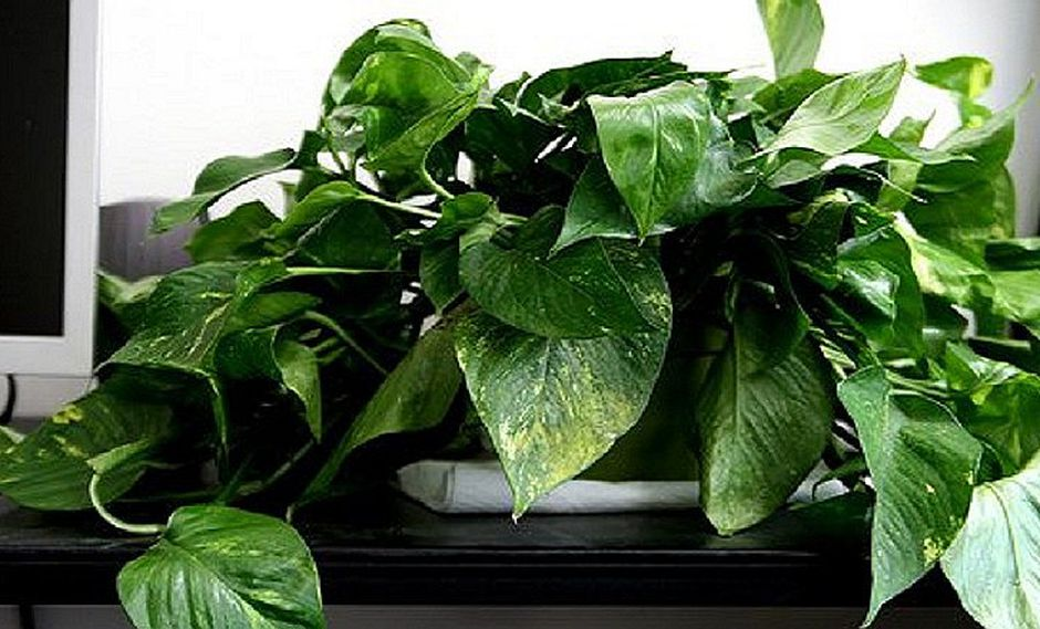 ¡La NASA lo dijo! Esta es la planta ideal para purificar el aire de tu hogar
