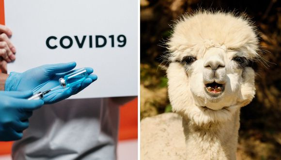 Coronavirus: Vacuna diseñada en Perú comienza a probarse en alpacas tras obtener resultados satisfactorios en gallinas