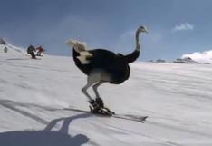 """Avestruces en esquíes """"demuestran su talento"""" realizando saltos triples y otros trucos sobre la nieve"""