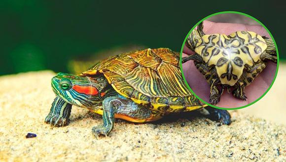 Nace tortuga siamés con dos cabezas, seis patas y solo un caparazón (FOTO)