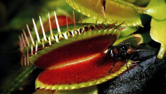 Este es el motivo por el que las plantas se hacen carnívoras