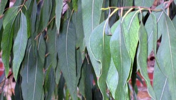 Huamanga. Se procesará media tonelada de hojas de coca secas de eucalipto las mismas que serán recolectadas en la comunidad de Munaypata, distrito de Los Morochucos, provincia de Cangallo. (Foto: ANDINA)