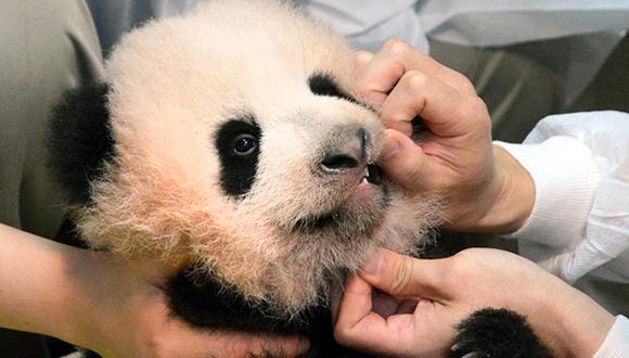 Nuevo panda gigante de zoo se llamará Xiang Xiang por voto popular