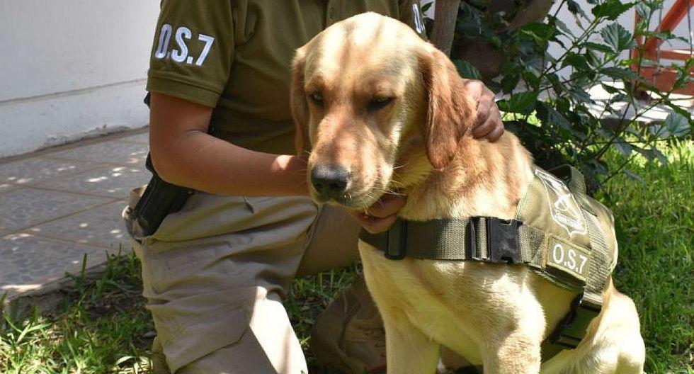 Perro antidrogas de la Policía vuelve a casa tras 7 días extraviado