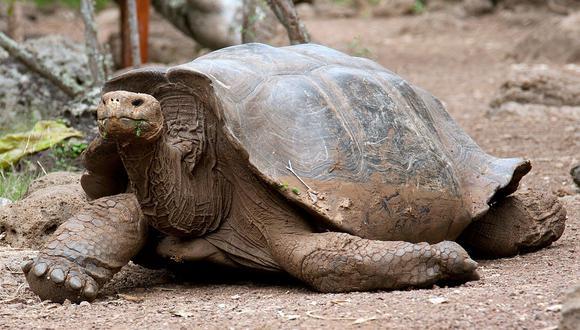 Rara tortuga se reproduce cada vez más en isla de las Galápagos