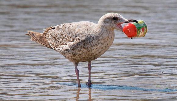 Aves marinas comen plástico porque su olfato los engaña y cree que es alimento