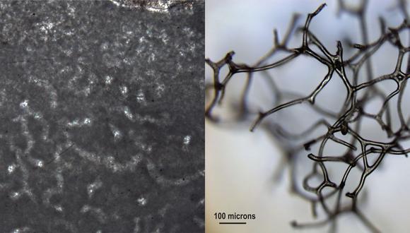 Fósil, a la izquierda, y la característica estructura del esqueleto de una de una esponja actual.