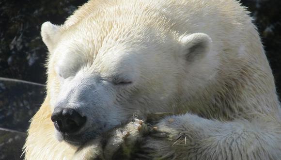 De acuerdo a los ambientalistas de la zona, el hábitat usual del oso polar se encuentra a unos 1.000 kilómetros del lugar donde estaba. (Foto: Referencial)
